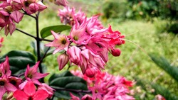 Bleeding heart vine (clerodendrum thomsoniae) is bushy, evergreen vine with shiny green leaves and tropical looking flower