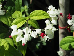Bleeding heart vine or Clerodendrum thomsoniae. Other names; Glorybower and Bagflower. Lovely small pure white flowers with heart-shape and blood-red tips like bleeding heart.