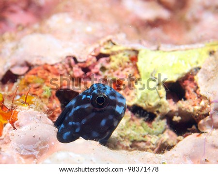 Blenny hiding in the hole