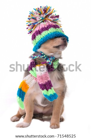 Blind (can't see), closed eyes concept. Chihuahua Puppy Wearing Hat Pulled Over Eyes