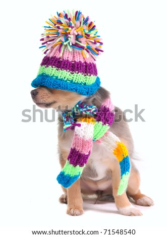 Blind (can't see), closed eyes concept. Dressed Chihuahua Puppy With Hat Pulled Over Eyes