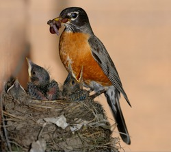 Blinking mother Robin with beak full of worms for three young chicks in the nest