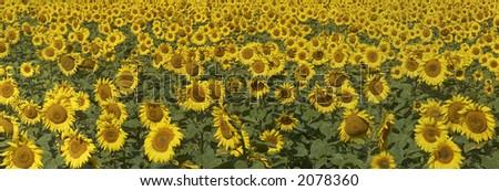 Blissful field of sunflowers. Horizontal panoramic view.