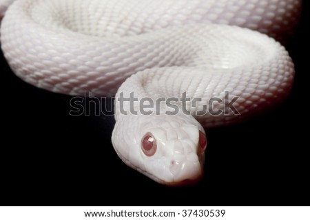 Blizzard gopher snake (Pituophis catenifer) isolated on black background.