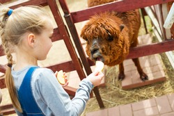 Blond toddler european girl feeding fluffy furry alpacas lama camels with apple