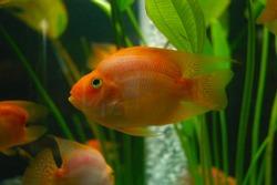 Blood Parrot Cichild Fish