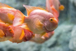 Blood parrot cichlid,Freshwater fish that is displayed in the aquarium. Photo with selective focus.
