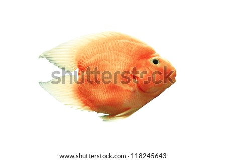 Blood parrot cichlid On a white background.