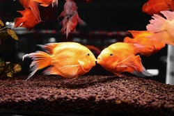 blood parrot fish Amphilophus citrinellus