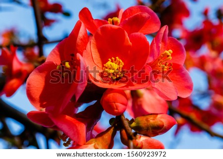 Blood red flowers of Chaemnomeles superba Rowallane  quince. Chinese quince or flowering quince blossom in spring.  Red Japanese quince blooms in springtime. #1560923972