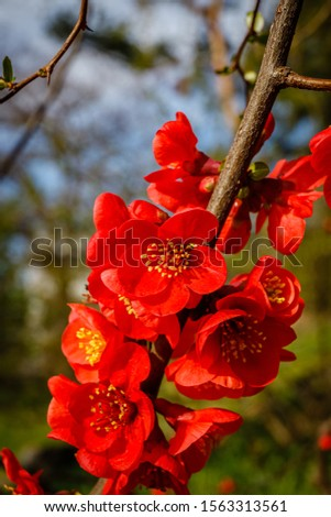Blood red flowers of Chaemnomeles superba Rowallane  quince. Chinese quince or flowering quince blossom in spring time. Red Japanese quince blooms in spring. #1563313561