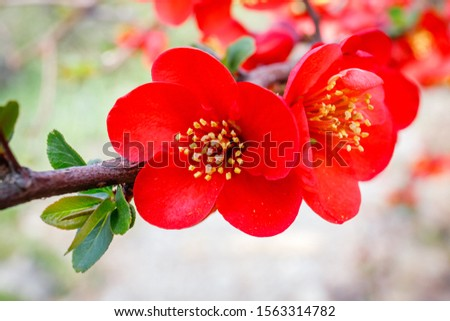 Blood red flowers of Chaemnomeles superba Rowallane  quince. Chinese quince or flowering quince blossoms in spring. Red Japanese quince bloom in springtime. #1563314782