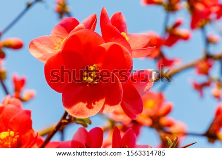 Blood red flowers of Chaemnomeles superba Rowallane  quince. Chinese quince or flowering quince blossoms in spring. Red Japanese quince bloom in springtime. #1563314785