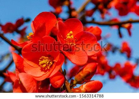 Blood red flowers of Chaemnomeles superba Rowallane  quince. Chinese quince or flowering quince blossoms in spring. Red Japanese quince bloom in springtime. #1563314788