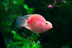 Blood red Parrot Cichlid -  Hybrid