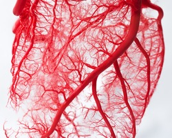 Blood vessel system of an heart