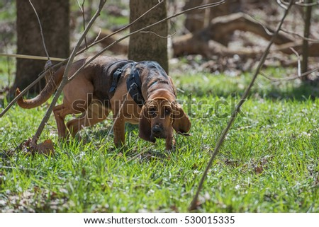 Shutterstock Bloodhound wearing harness tracking