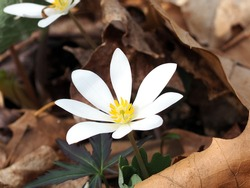 Bloodroot flower in the wild. Sanguinaria canadensis. Large white flower with eight petals. Wildflower. Taken early April in Michigan. Natural background of dead leaves.