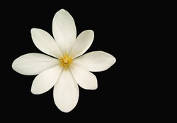 Bloodroot (Sanguinaria canadensis) flower isolated on black