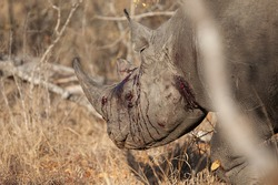 Bloody and beaten Black Rhino seen on a safari in South Africa