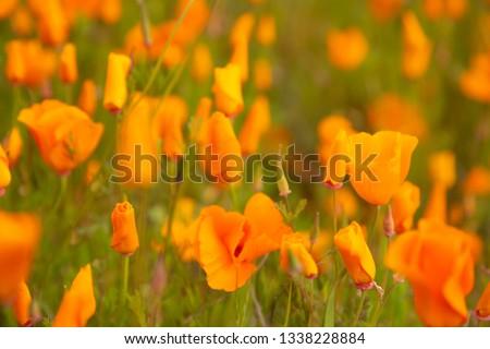Bloom fields of California golden poppies in Lake Elsinore, Spring 2019