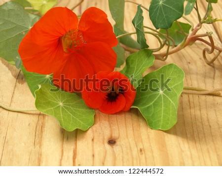 bloom from nasturtium, Tropaeolum