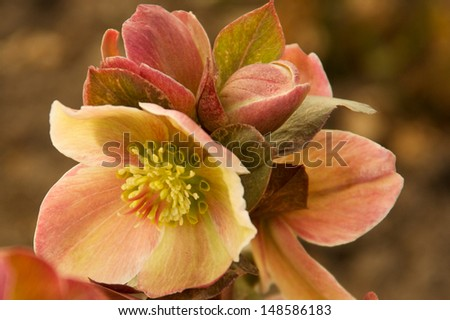 Bloom of the Lenten Rose Beautiful bloom of the \'Lenten Rose\' or \'Christmas Rose\'. The blooms are white, pink,green to mauve, as they mature.