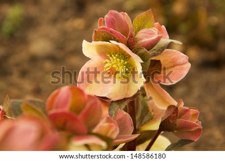 Bloom of the Lenten Rose The \'Lenten Rose\' or \'Christmas Rose\' has nodding flowers.  The blooms are white,pink,green to mauve, as they mature.