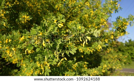 Blooming acacia tree with yellow flowers ez canvas blooming acacia tree with yellow flowers mightylinksfo