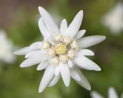 blooming alpine edelweiss flower