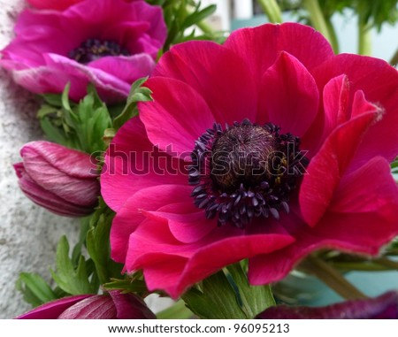 Blooming anemone flowers in spring