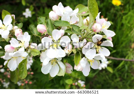 Blooming apple tree #663086521