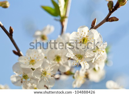 Blooming apple tree; beautiful white blossoms against blue sky, shallow field