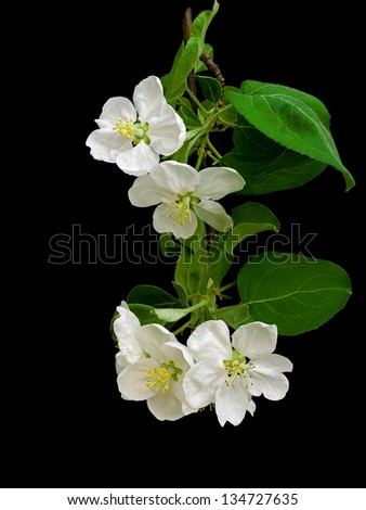 Blooming apple tree branch isolated on a black background vertical