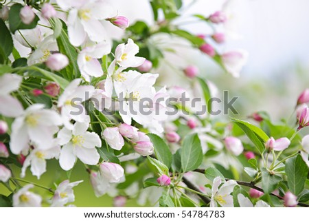 apple tree branch. apple tree branches in