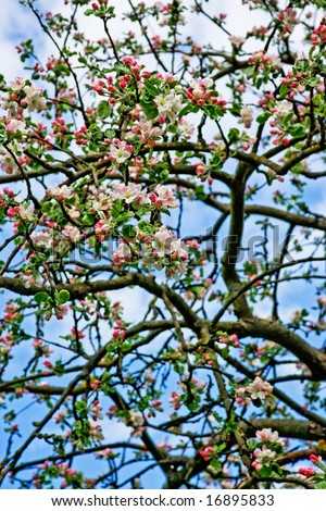 Blooming apple tree branches on bright blue skys. Image can be used as a wallpaper or background.