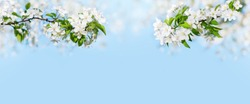 Blooming apple tree branches white flowers green leaves blue sky background close up, beautiful cherry blossom, sakura garden, spring orchard, summer sunny day nature, floral border frame, copy space