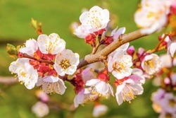Blooming apple tree flowers on twig. Flowering branch of tree in spring. Beautifully blossoming tree branch. Cherry - Sakura and sun with a natural colored background. Closeup
