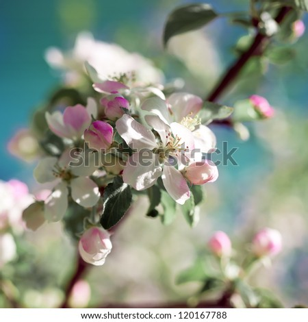 Blooming apple tree in spring.