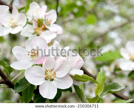 Blooming apple tree in spring time. #250306711