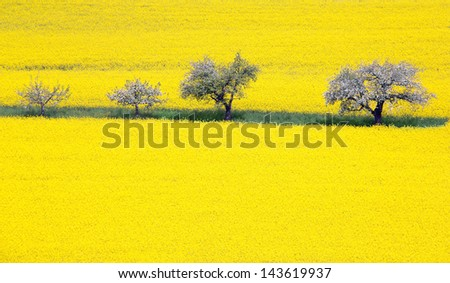 Blooming apple tree row in a rape field