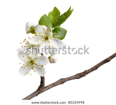 Blooming apple-tree twig isolated on white background