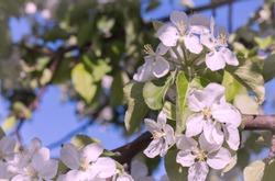 blooming Apple trees in the garden