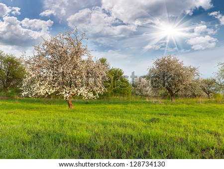 Blooming apple trees in the garden at spring - stock photo