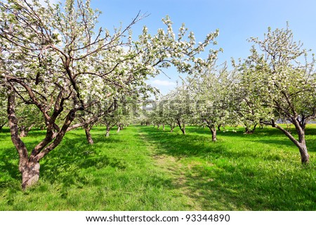 Blooming apple trees over blue sky in spring park