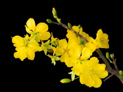 blooming apricot branch with delicate yellow flowers, isolated on black