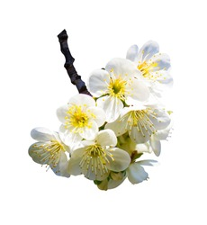 blooming apricot twig	isolated on white background