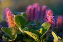 Blooming Arctic willow (Salix arctica). Plants growing in the tundra in the Arctic. Wildflowers of the polar region. Northern nature of Chukotka and Siberia. Far East of Russia. Closeup.