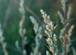 Blooming Artemisia vulgaris (common mugwort, riverside wormwood, felon herb, wild wormwood or St. John's plant), selective focus, blurred background. Floral background or medicinal herbs concept