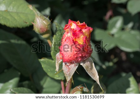 Blooming beautiful colorful rose bud in garden background #1181530699